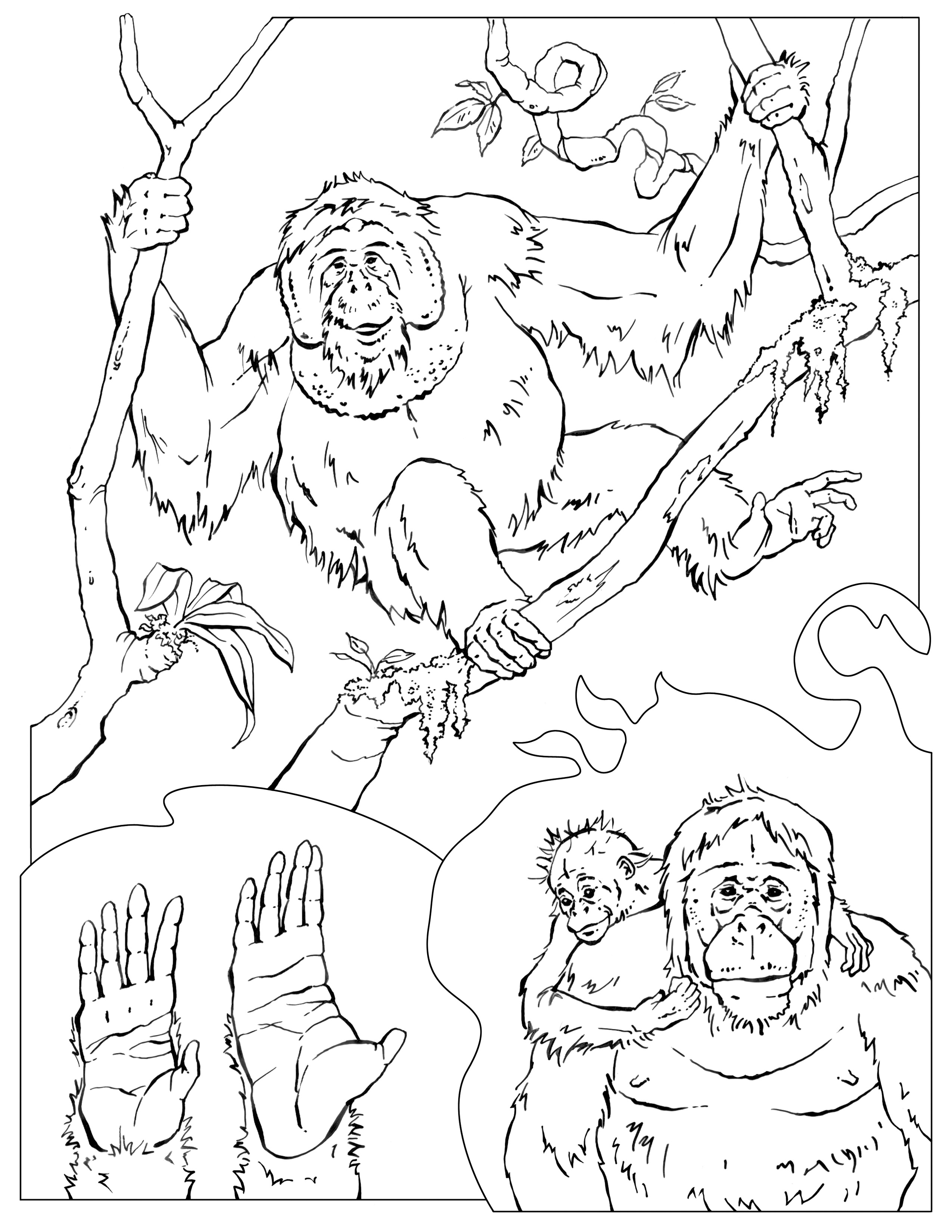 cheetah coloring pages orangutan color page best coloring