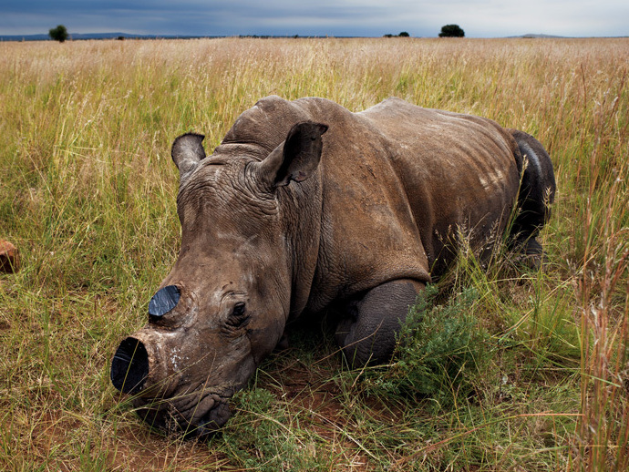 Rhino horn removal
