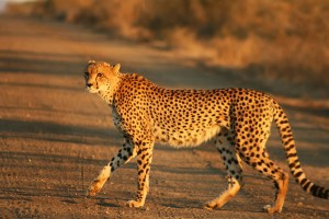 Cheetah_Kruger by mukul2u wiki