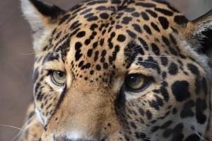 Leopard-Dow2014