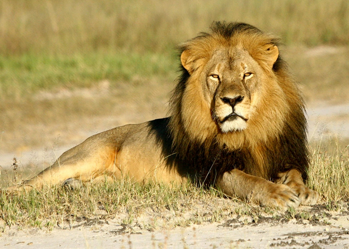What an Endangered Species listing in the US means for African Lions ...