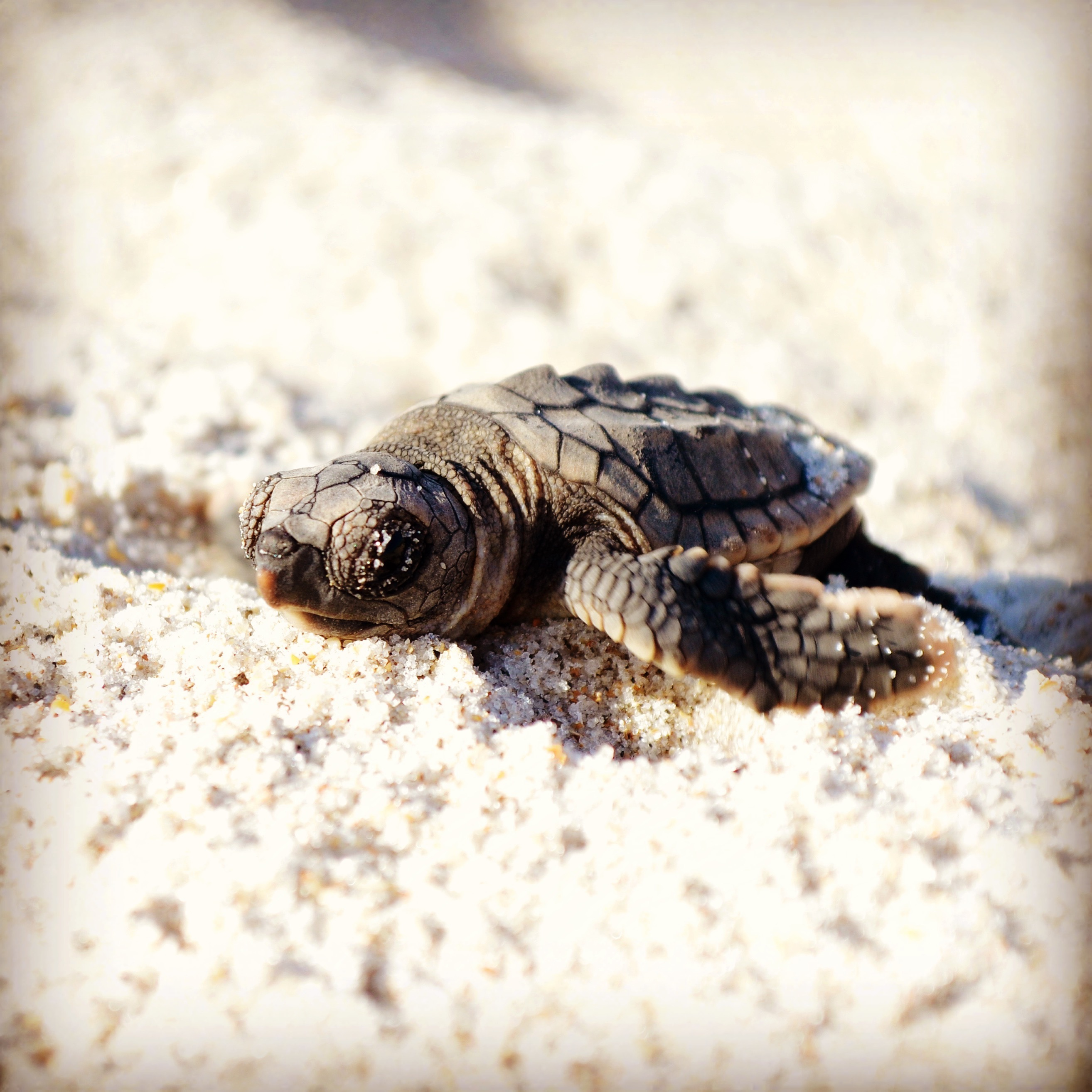 Sea Turtle Nesting: A Race Against Time – Wildlife Research ...