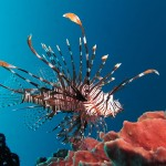 800px-Red_lionfish_near_Gilli_Banta_Island